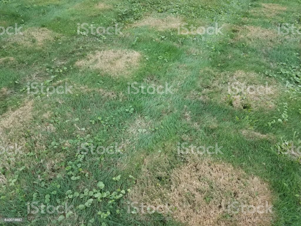 lawn with brown patches stock photo