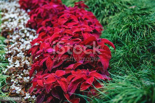 Lawn with Coleus plants along the trail on a Sunny day. Landscape design.