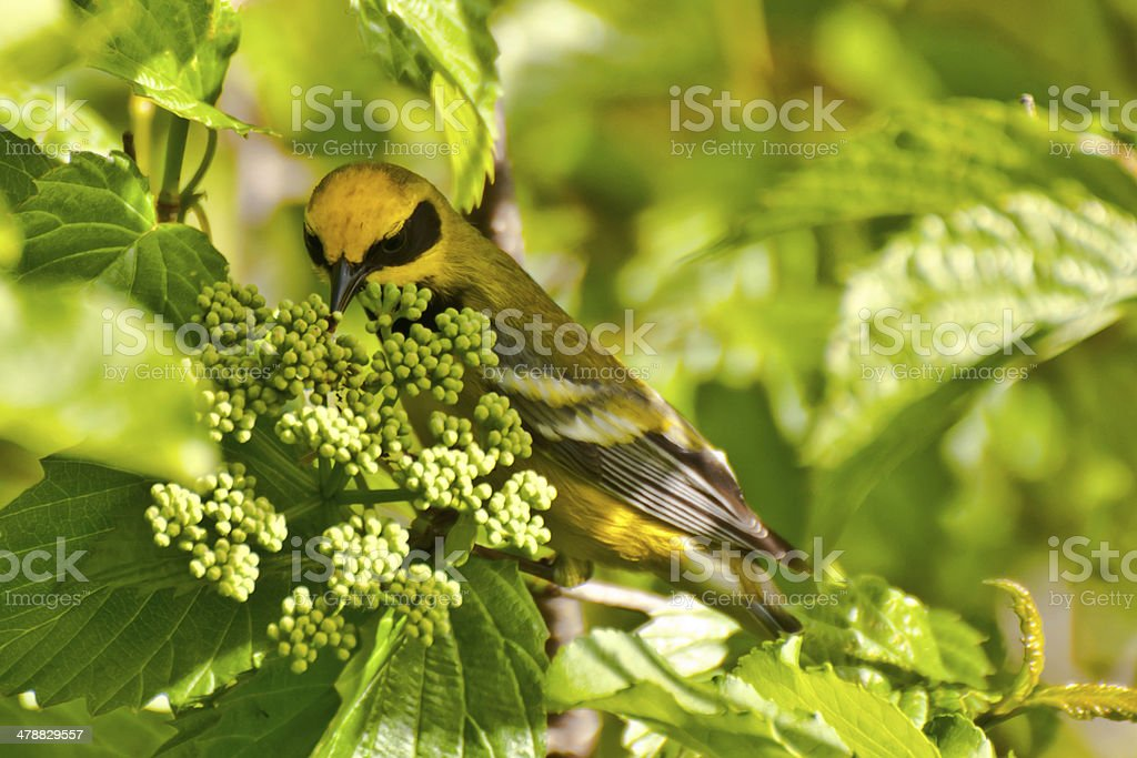 Lawrence's Warbler stock photo