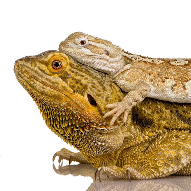 lawson's dragon pogona henrylawsoni - animaux familiers exotiques photos et images de collection