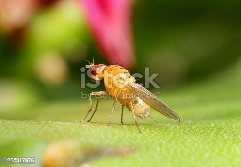 Bright yellow fly with red eyes on a green cactus