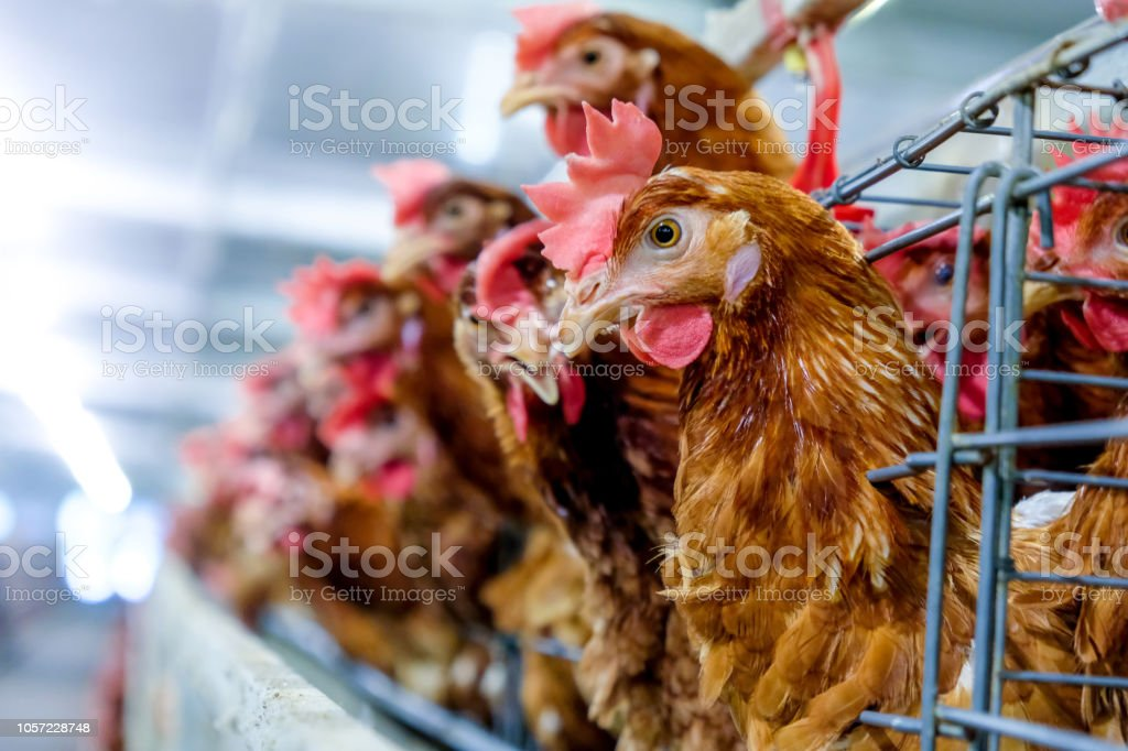 Camada de galinhas com vários níveis de linha de produção - foto de acervo
