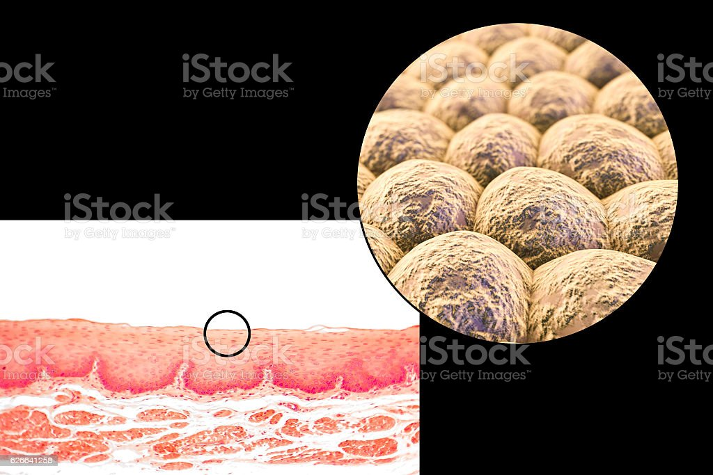 Layer of cells, light micrograph and illustration stock photo