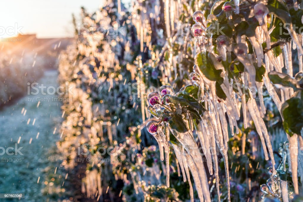 Layer of protective ice covering fruit trees stock photo