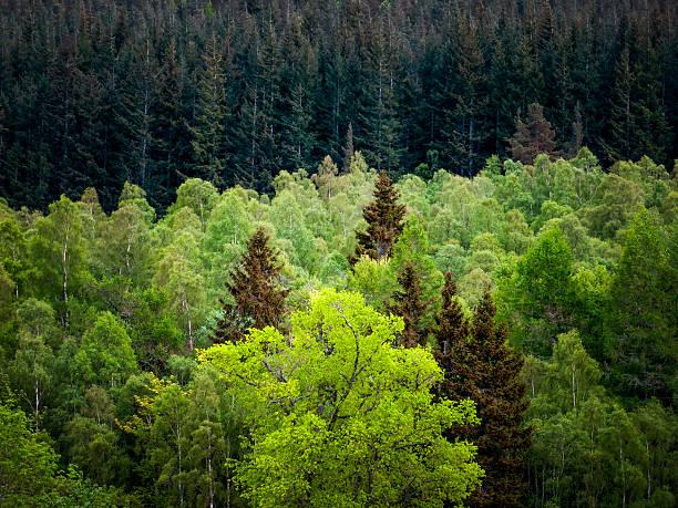 layered colours of dark forest trees - fur bildbanksfoton och bilder