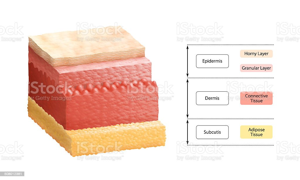 Layers Of Human Skin stock photo