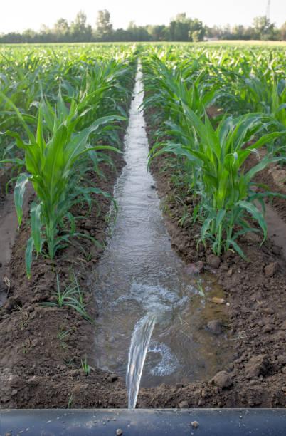 Lay-Flachbewässerungsrohrsystem für nivelliertes Maisfeld, Extremadura, Spanien – Foto