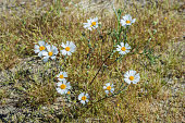 istock Layia glandulosa is a species of flowering plant in the daisy family called whitedaisy tidytips and white layia and found in Joshua Tree National Park, California 1254287187