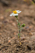 istock Layia glandulosa is a species of flowering plant in the daisy family known by the common names whitedaisy tidytips and white layia. Bodie Hills; Toiyabe National Forest; Mono County; California; Asteraceae. 1264329637