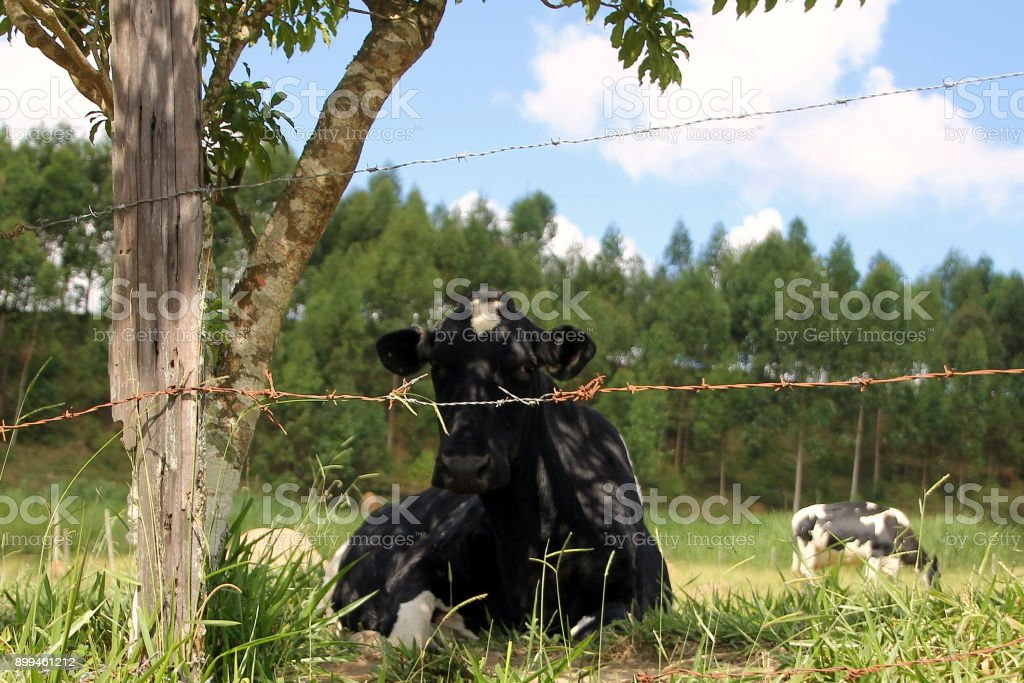 Laying cow looks at a camera lens through barbed wire fence stock photo