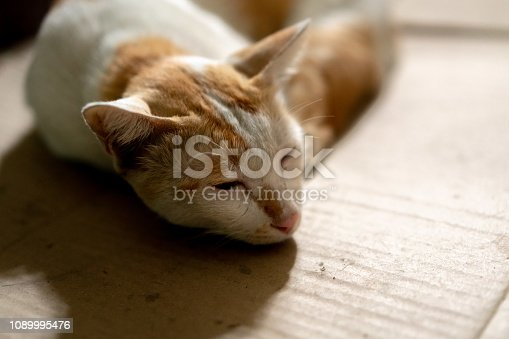 Laying down brown and white Thai cat on cardboard paper with blurred background.