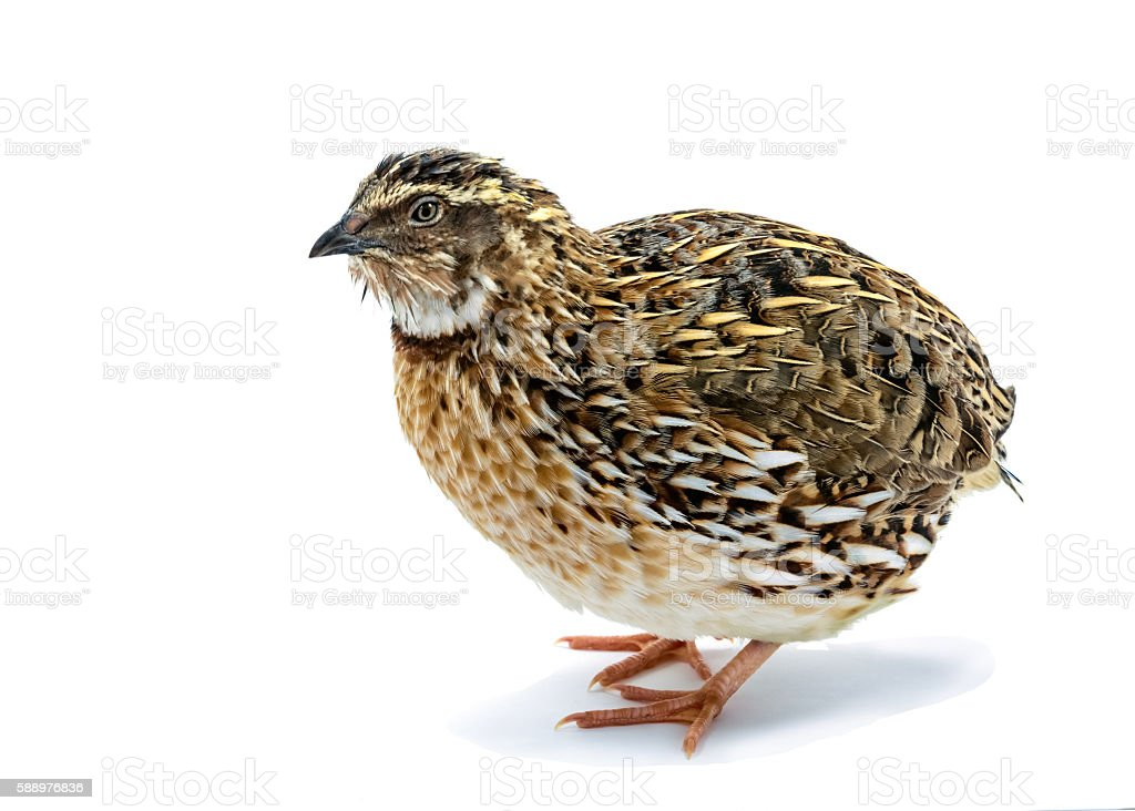 Laying hen of domesticated quail isolated on white stock photo