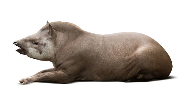 laying male tapir stock photo