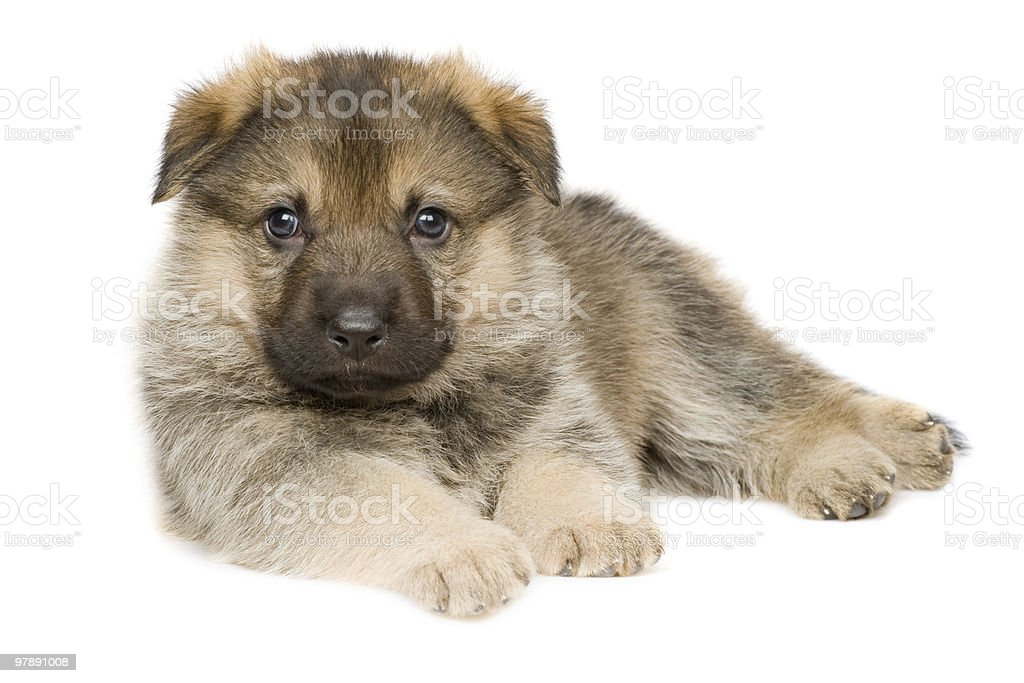 laying puppy royalty-free stock photo