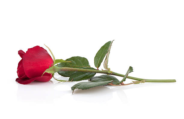 Laying red rose picture id160384372?b=1&k=6&m=160384372&s=612x612&w=0&h=xmrq8vnv5wu6xzm2rqqzyju9atyivymyvzfllif8rz0=