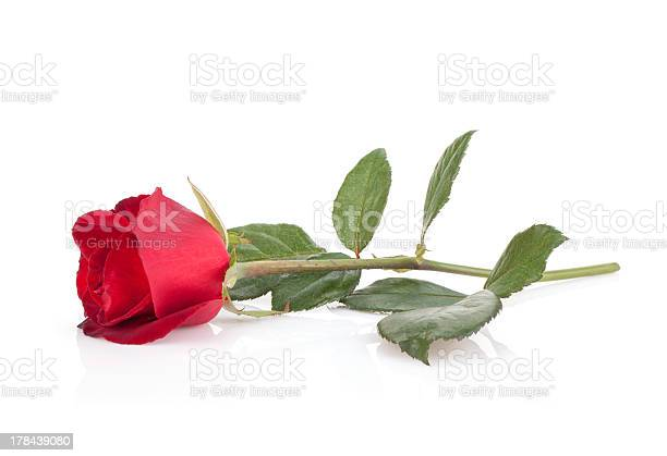 Laying red rose picture id178439080?b=1&k=6&m=178439080&s=612x612&h=knw nvnpx1vo2gyeyfeybvtug0qcam6opogpgx55fdi=