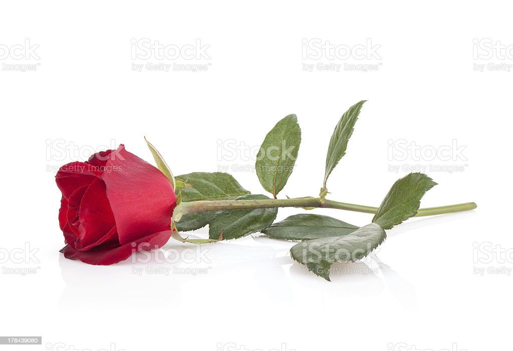 Laying red rose stock photo