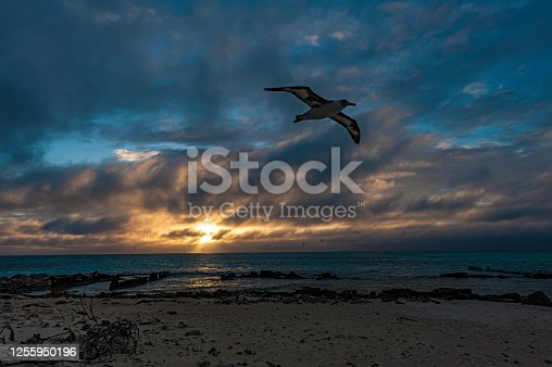 Laysan Albatross flying at sunset over a beach littered with old war debris on Midway Island.