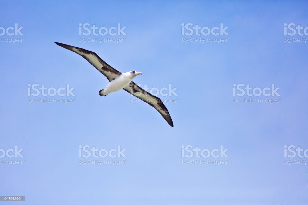 Albatros de Laysan en vuelo sobre fondo blanco - foto de stock