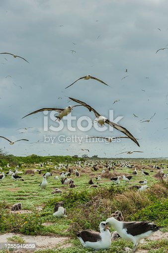 Laysan Albatross, Phoebastria immutabilis, is a large seabird that ranges across the North Pacific. The albatross colony on  Papahnaumokukea Marine National Monument, Midway Island, Midway Atoll, Hawaiian Islands. Many birds flying.