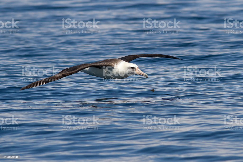 Laysan-Albatros, dass Fliegen über das Wasser des Ozeans – Foto