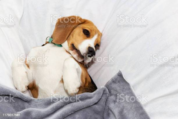Lazy beagle lies in his masters bed pet picture id1179317581?b=1&k=6&m=1179317581&s=612x612&h=klgdluoqlqxowqg6oi lqtgqtdrr37zdsdyipbqecz4=