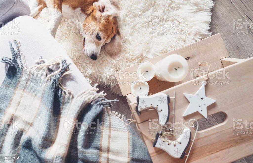 faul beagle liegt am fell teppich im wohnzimmer gemutliche atmosphare zu hause weihnachten lizenzfreies stock