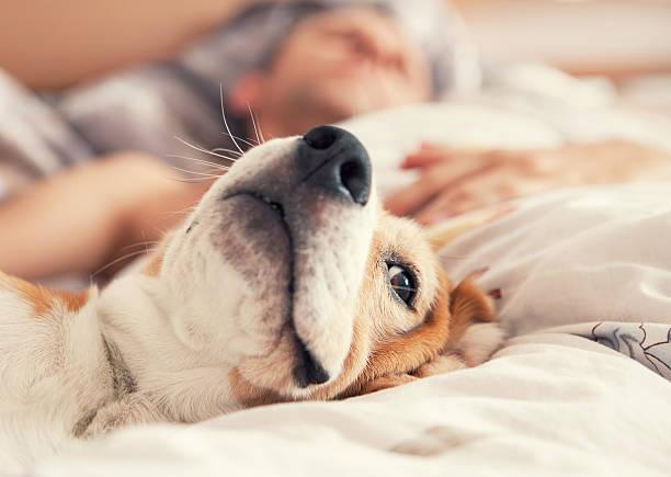 Lazy beagle lying in bed with his sleeping owner picture id492009624?b=1&k=6&m=492009624&s=612x612&w=0&h=edwyuywyclkyd5iaqib3ct5lufufbb96be4ys zb2g0=