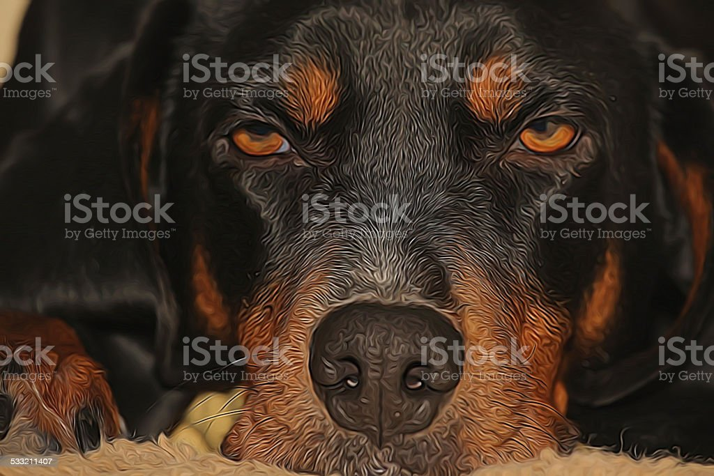 Lazy black and tan coonhound resting stock photo