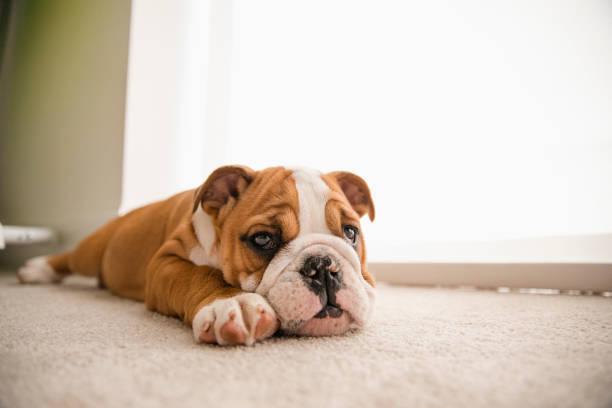 bulldog británico perezoso - couch potato refrán en inglés fotografías e imágenes de stock