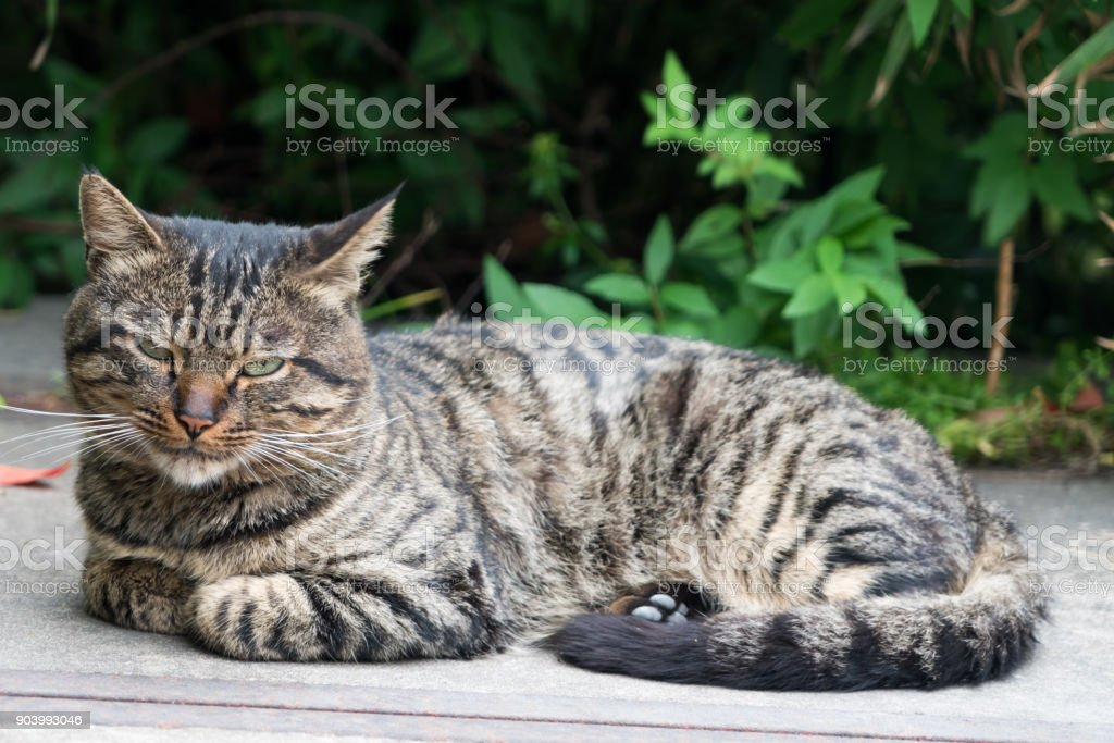A lazy brown striped cat laying down on the road stock photo