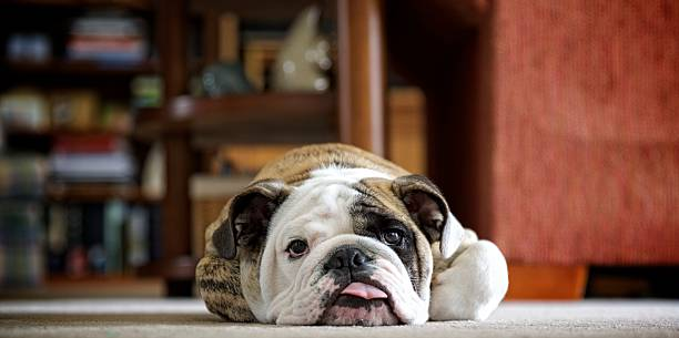 Lazy Bulldog An English Bulldog puppy rests on the floor. animal tongue stock pictures, royalty-free photos & images