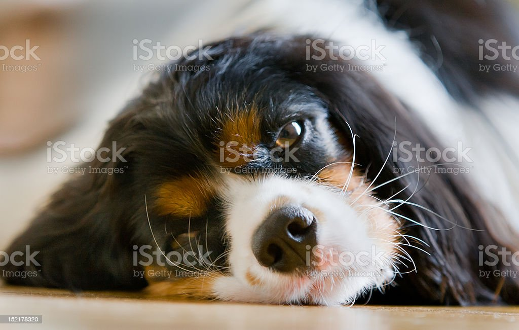 Lazy Cavalier King Charles Spaniel stock photo