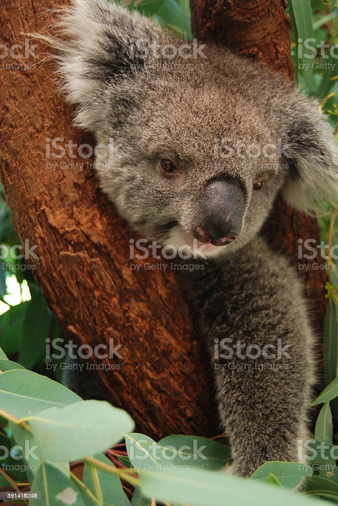 Cool Koala Bear Chubby Adorable Dog - lazy-chubby-koala-bear-relaxing-on-a-tree-picture-id591416248  You Should Have_861486  .com/photos/lazy-chubby-koala-bear-relaxing-on-a-tree-picture-id591416248