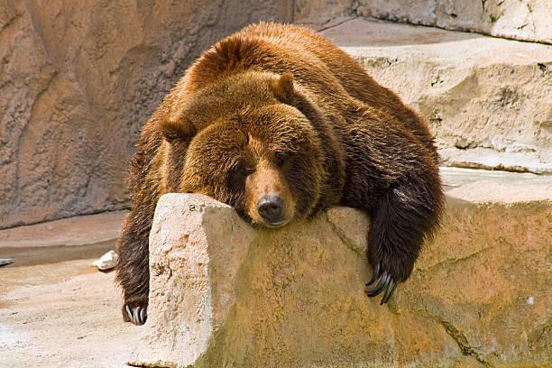tranquilo día en el zoológico de - oso fotografías e imágenes de stock