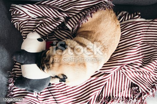 Dog pug breed sleeping on the sofa all the day during the bright sunny winter day and lying on the toy like on the pillow