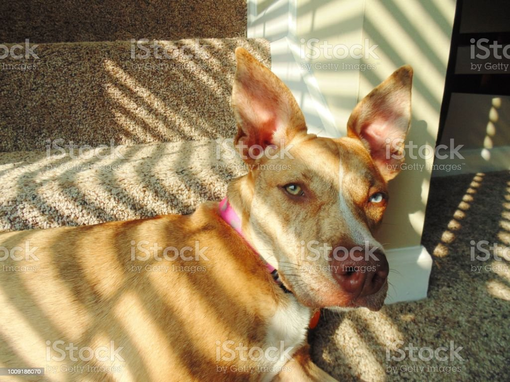 Dixie is a beautiful, mixed breed, lazy dog with the heterochromia...
