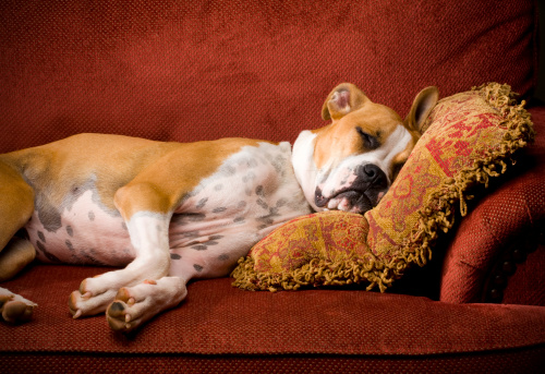 Red boxer senior dog resting on a sofa. Calm temperament happy pooch.