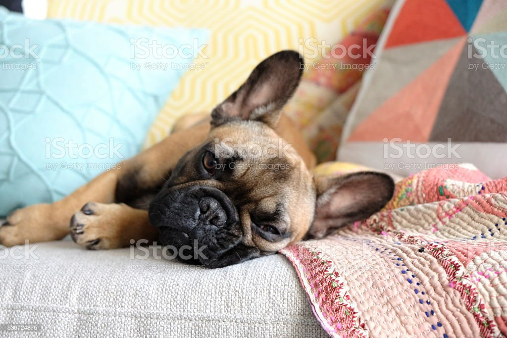 Lazy French Bulldog on Couch stock photo