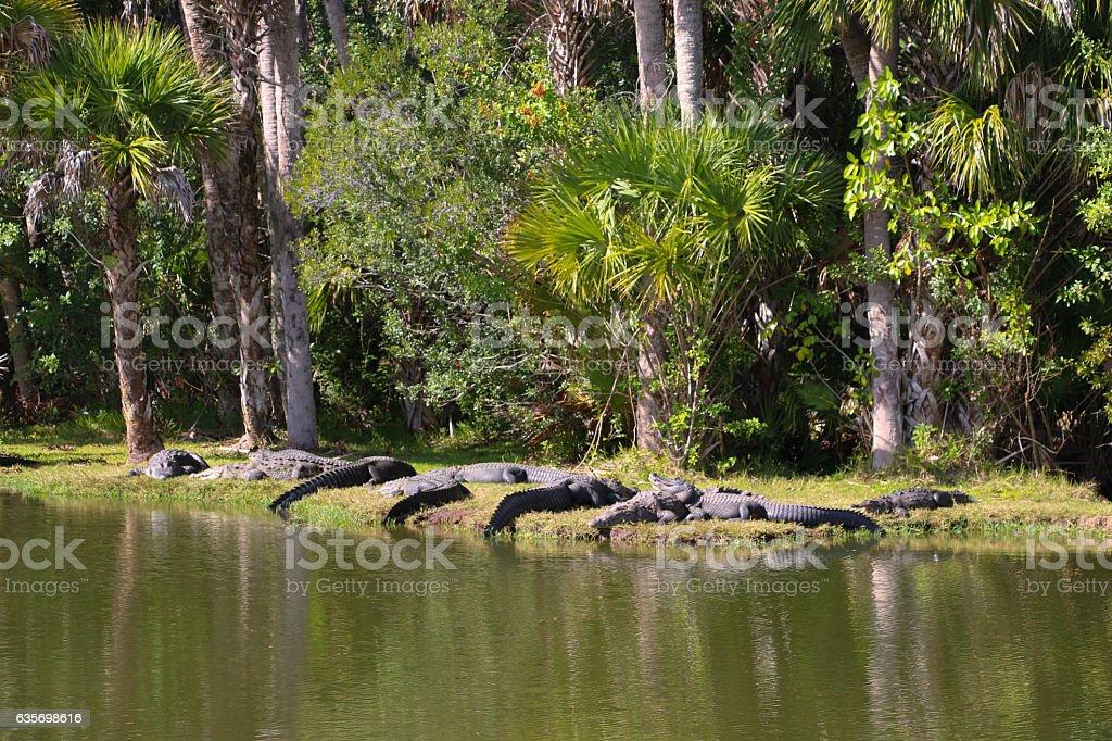 Lazy Gators royalty-free stock photo