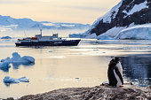 Lazy Gentoo penguin chick standing on the rocks with cruise ship and icebergs in the background at Neco bay, Antarctic
