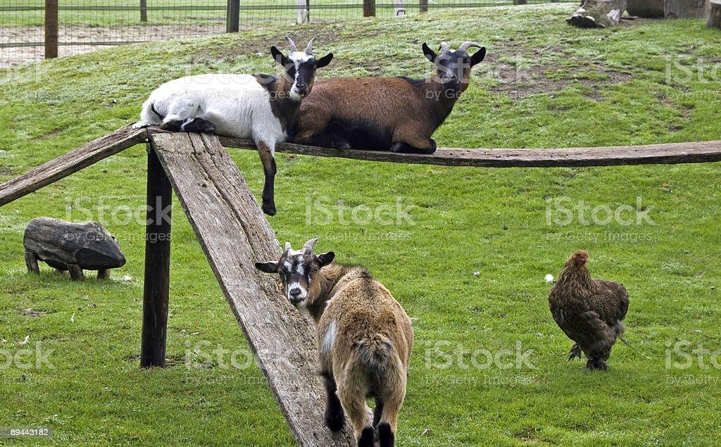 Lazy Goats royalty-free stock photo