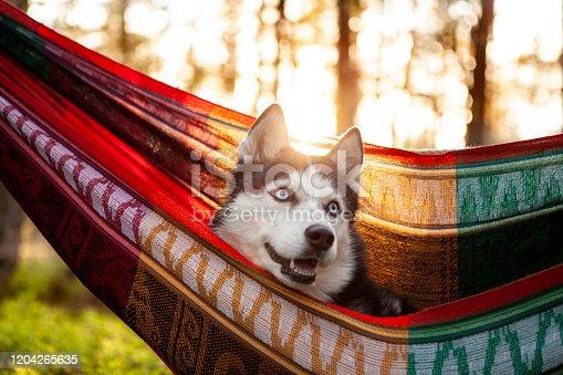 lazy Siberian husky dog lying in a hammock