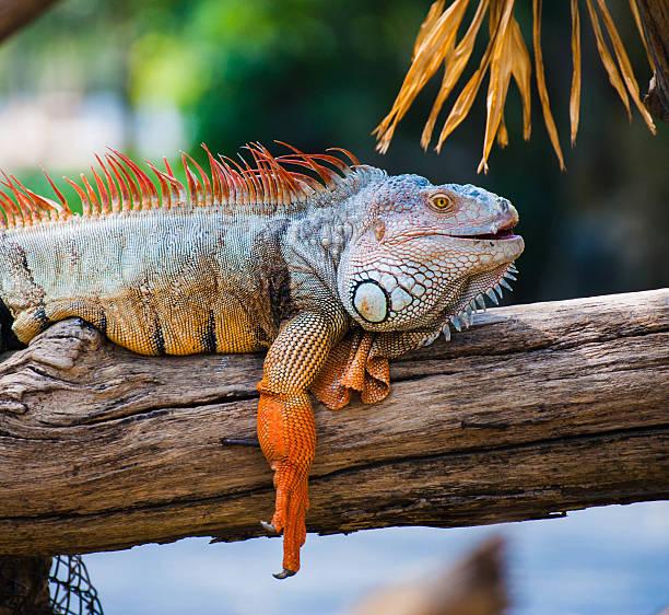 Lazy Leguan liegen entlang der Zweigstelle – Foto