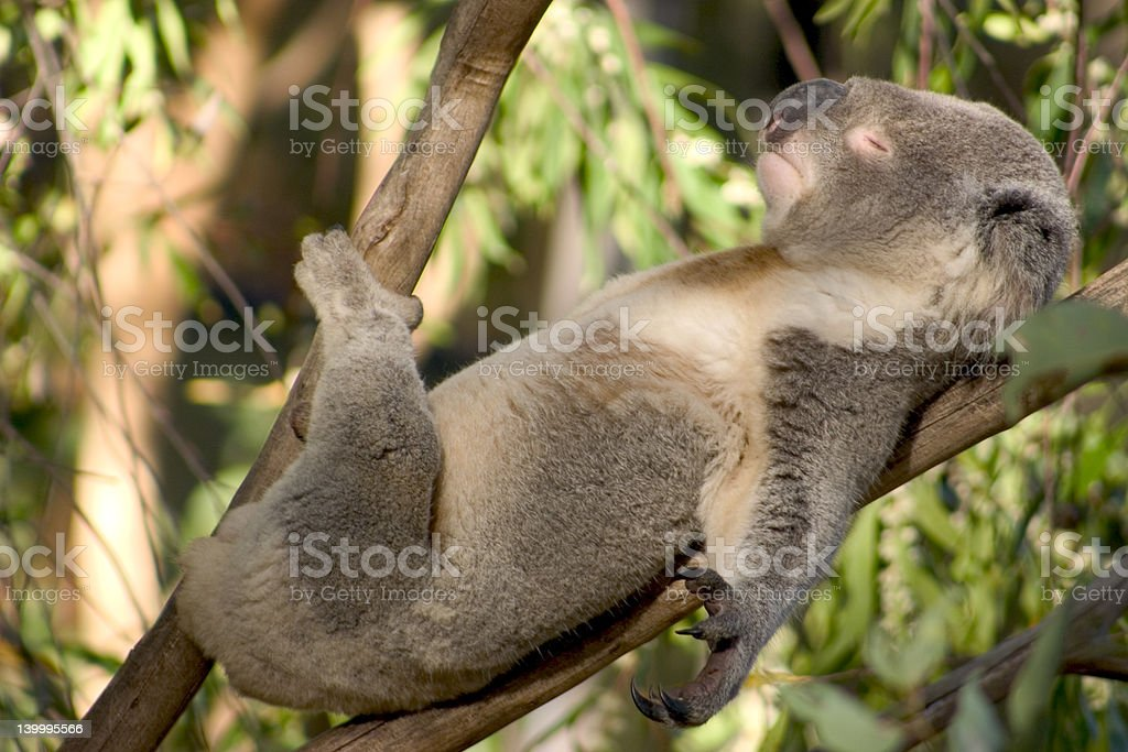 Lazy Koala royalty-free stock photo