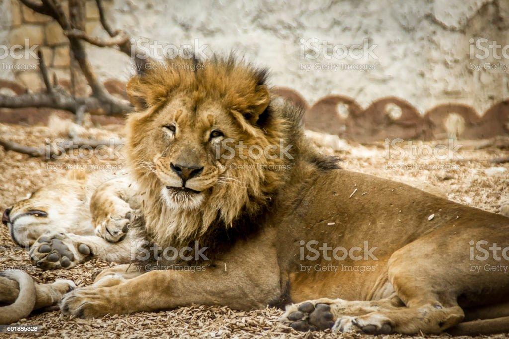 Lazy lions 2 stock photo