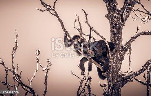 Funny sleeping monkeys on a tree