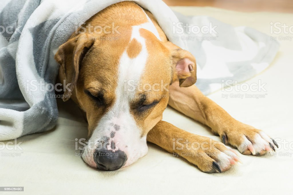 Sleepy staffordshire terrier dog covered in plaid resting indoors in...