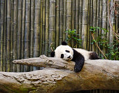 Giant panda bear rest on tree branch in sunny day with blue sky background.