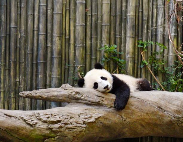 panda paresseux - panda photos et images de collection